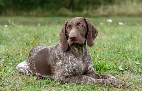 Braco alemán de pelo corto, uno de los perros más saludables