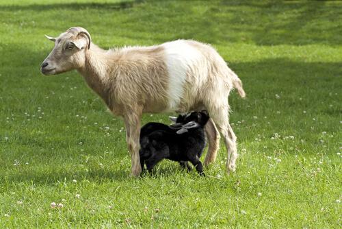 Cabra amamantando cría