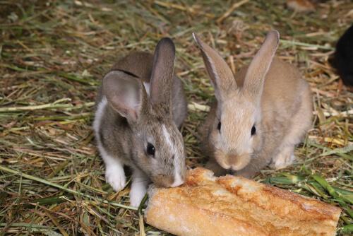 ¿Los conejos pueden comer pan?