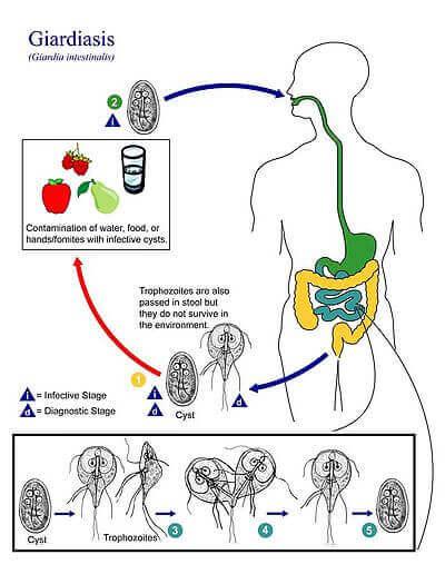 Contagio de la giardiasis