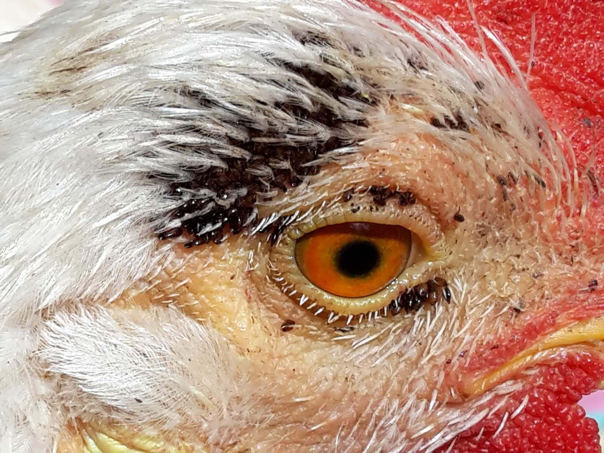 Echidnophaga gallinacea es uno de los ectoparásitos en las aves