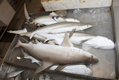 Ejemplares de tiburón blanco