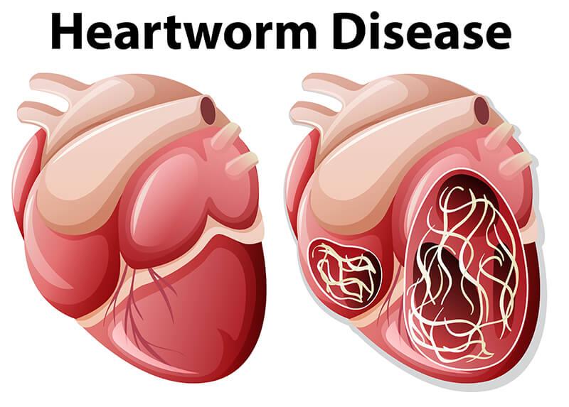 Enfermedad del gusano del corazón