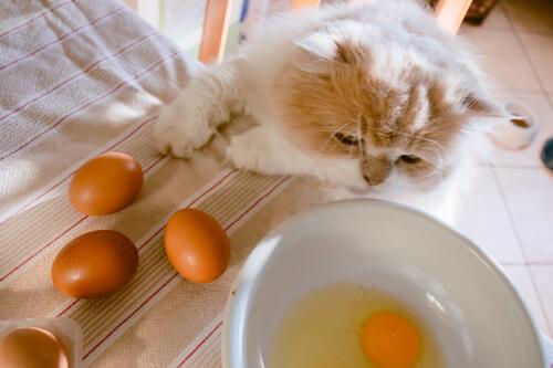Felino come huevos