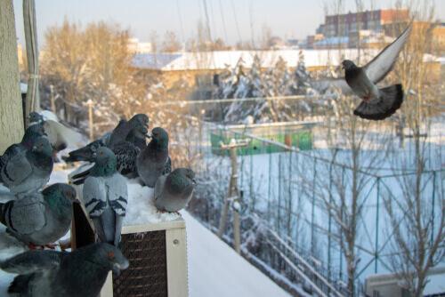 ¿Es legal el uso de la Nicarbazina para controlar la población de palomas?