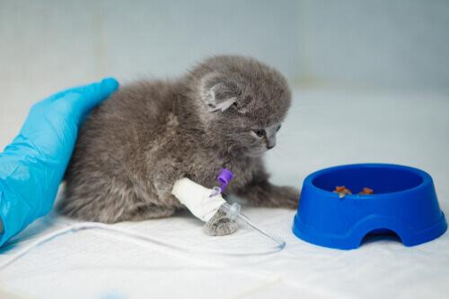 Gatito en el veterinario dispuesto a comer