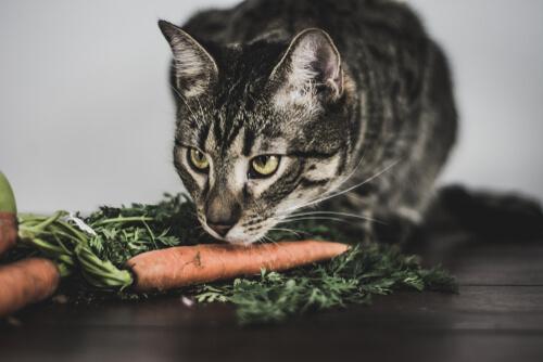 Gato a punto de comer zanahorias