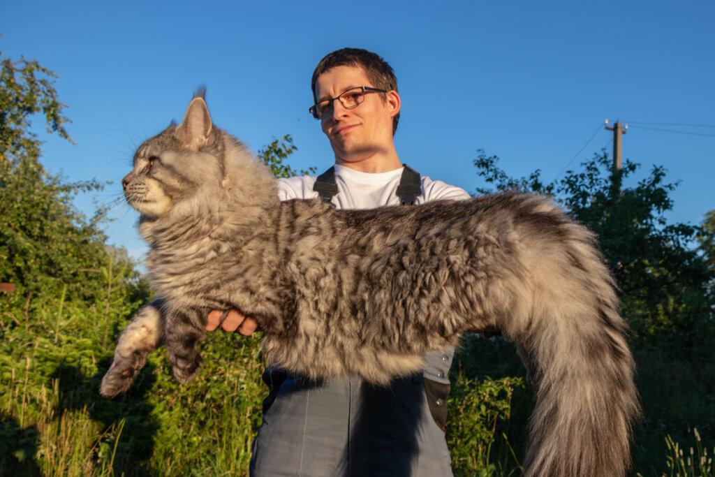 Conoce dos de las razas de gatos más grandes del mundo