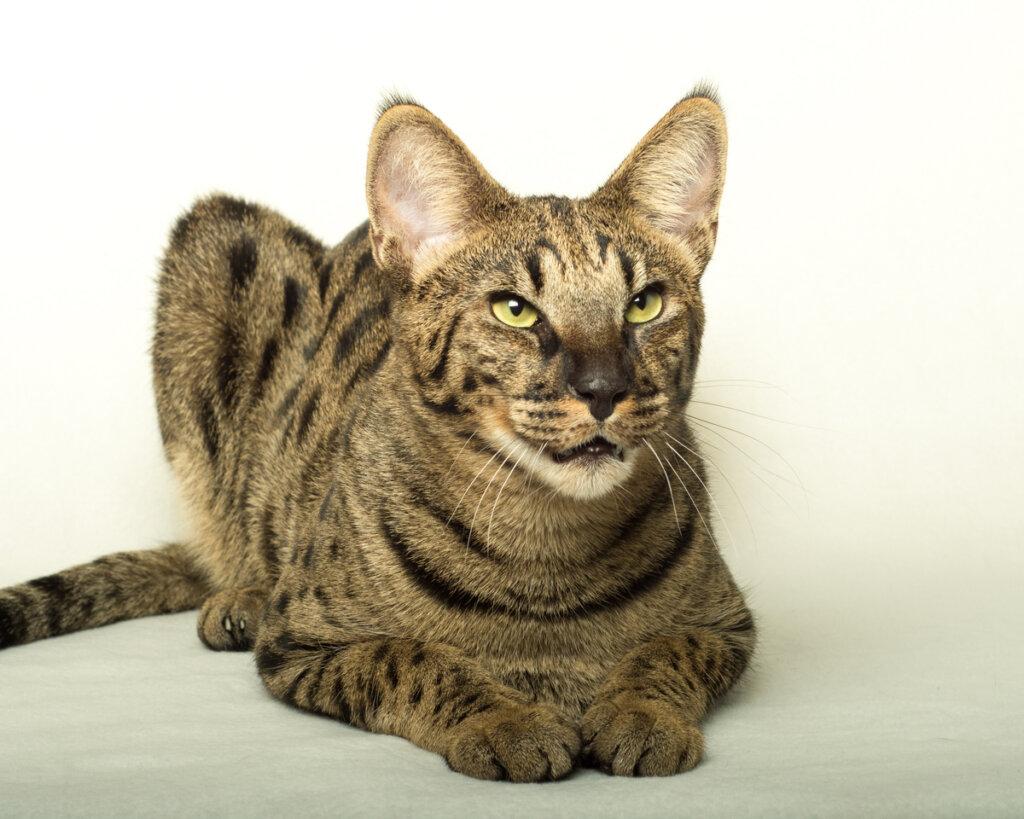 Las 5 razas de gatos más agresivas