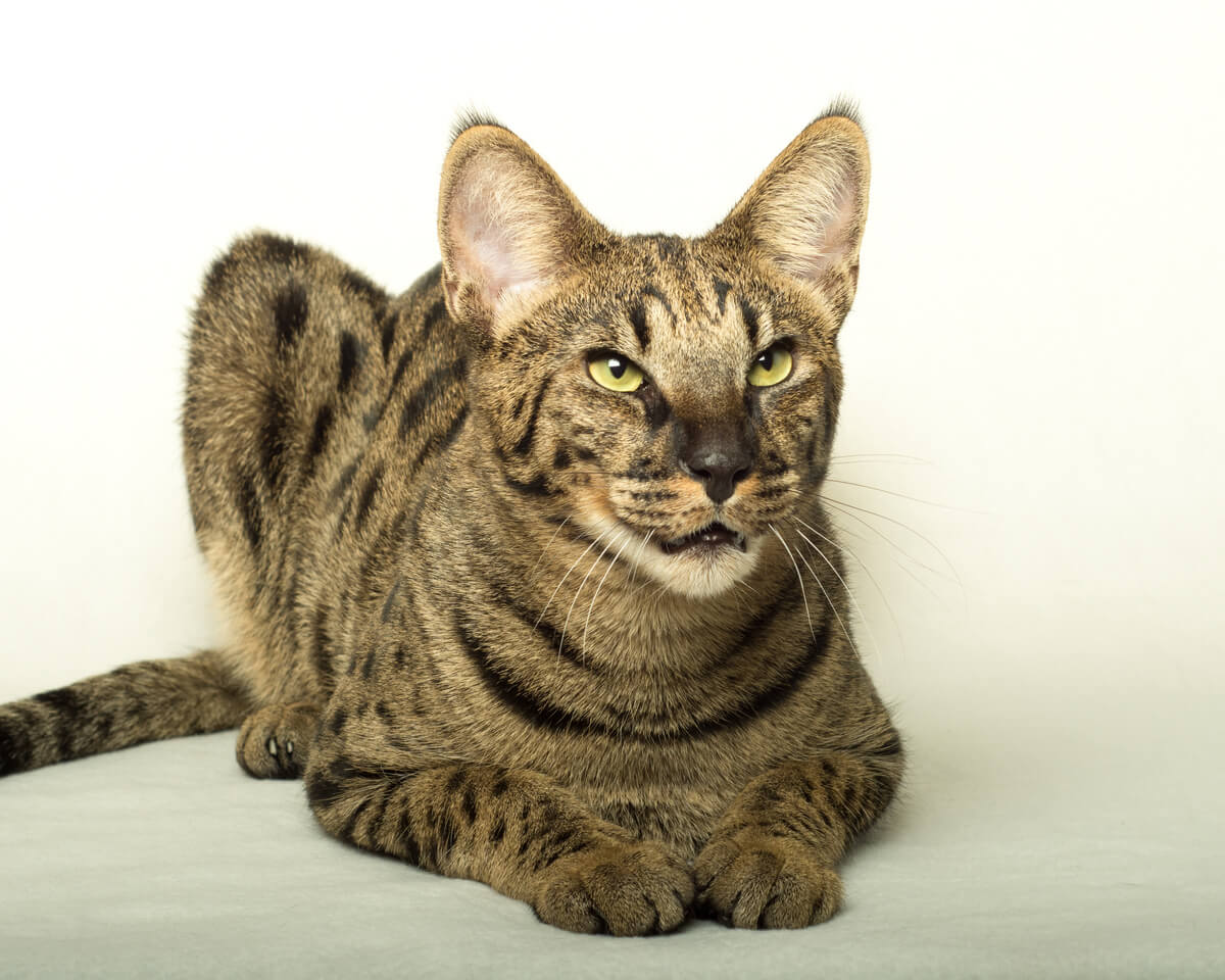 Un gato savannah.