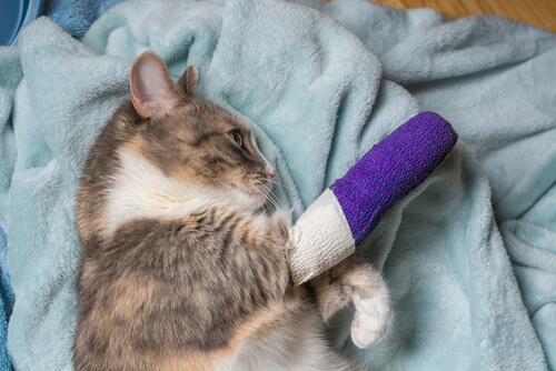 Gatos cojos: causas comunes y tratamiento