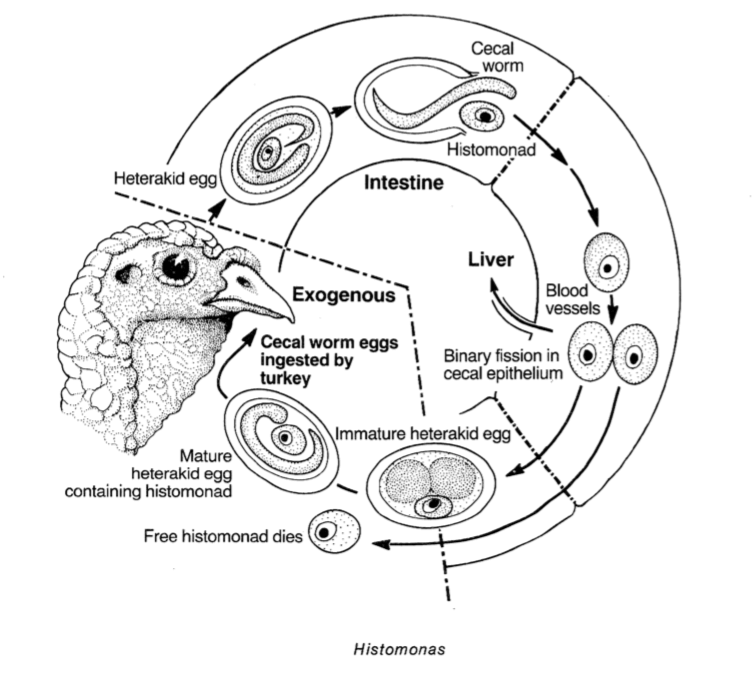 Histonomas son parásitos unicelulares