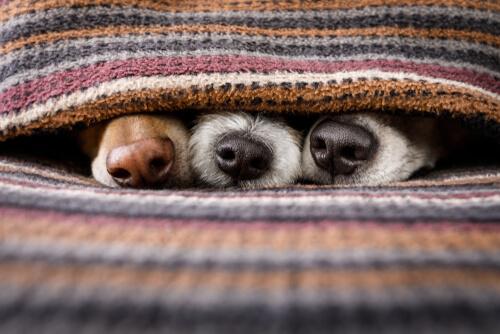 Hocicos de perros bajo unas mantas