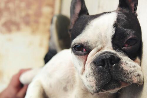 Infección en los ojos del perro