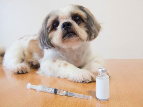 Insulina para un perro que padece diabetes