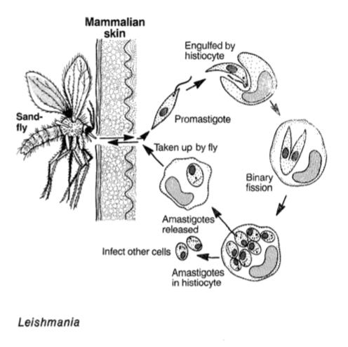 Leishmania es uno de los parásitos unicelulares