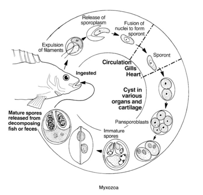 Los mixozoos son parásitos unicelulares