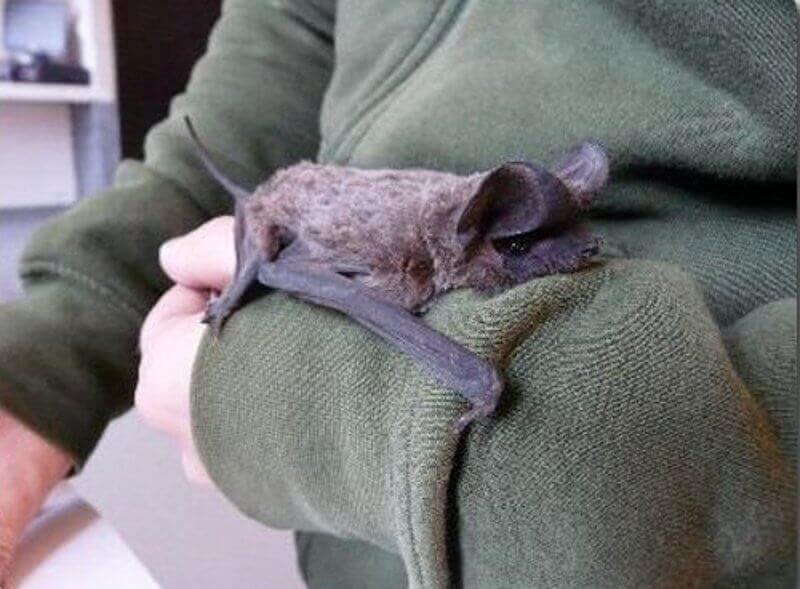 Murciélago en cautividad encima del brazo