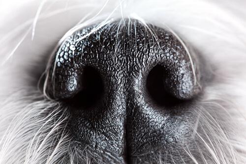 La nariz del perro: 6 curiosidades