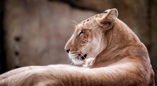 Primer plano del Panthera tigris x Panthera leo