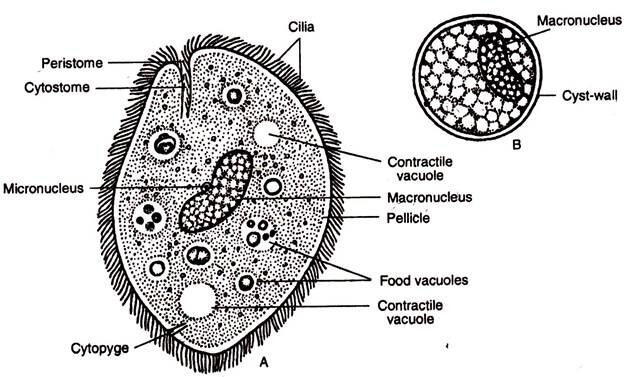 Parásitos unicelulares ciliados