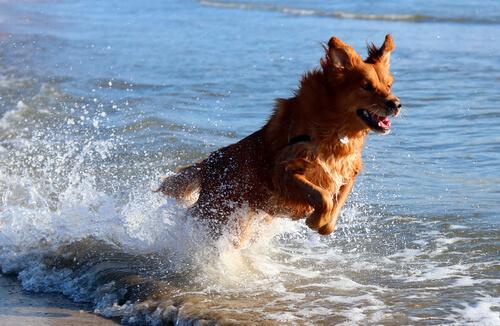 Perro corriendo por la orilla