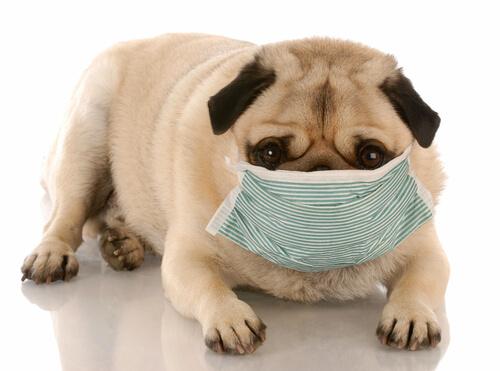 Perro con mascarilla presenta salud canina deplorable