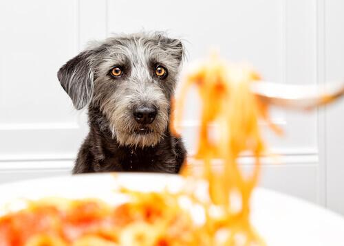 Perro observa la pasta