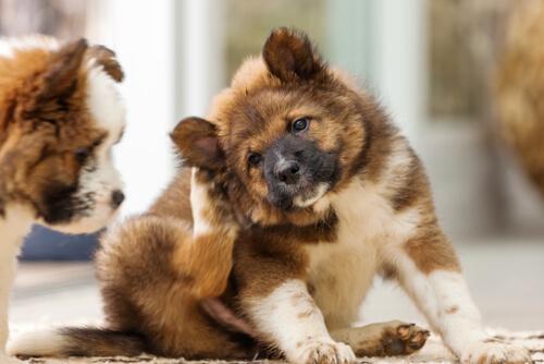 Perro alérgico: las alfombras podrían estar contribuyendo a estas alergias