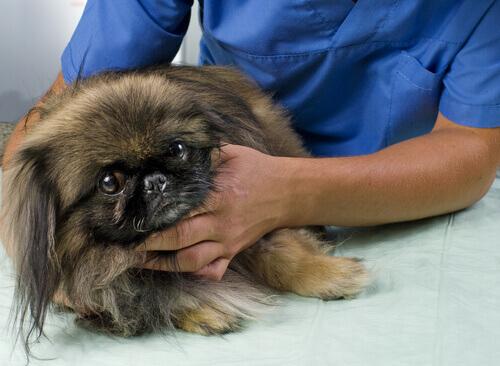 Uno de los perros con cáncer en el veterinario