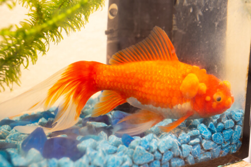 Sick goldfish with bumps on the scales.
