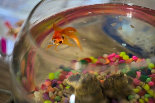 Vigila a tu pez dorado a diario.