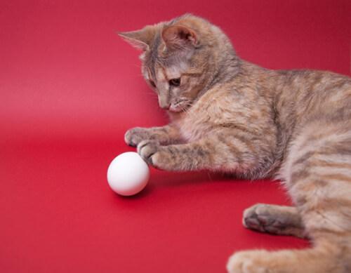 ¿Pueden los gatos comer huevos?