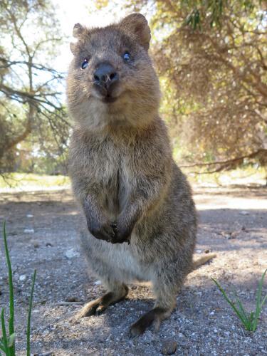 Quokka, el animal más feliz del mundo