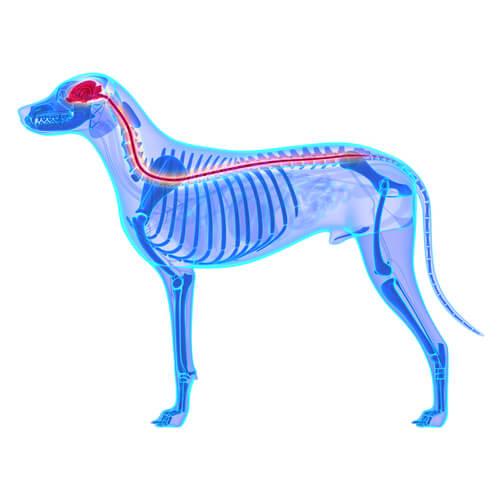 Sistema nervioso del perro