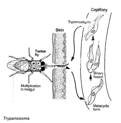 Tripanosoma es uno de los parásitos unicelulares