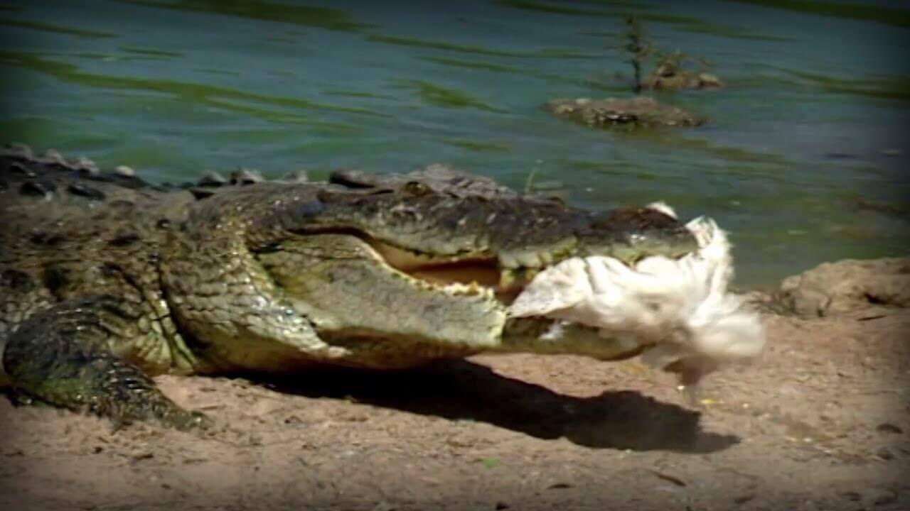 Hay virus que afectan a los cocodrilos y también a las aves que cazan