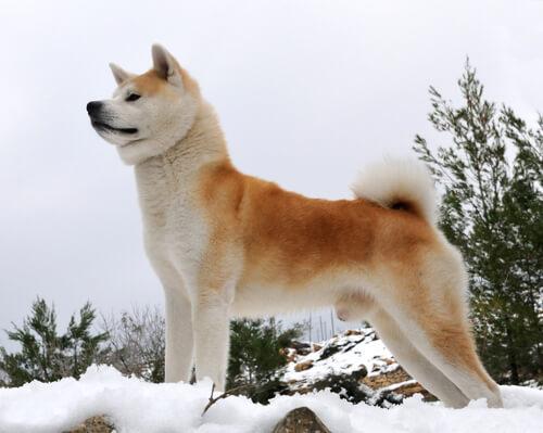 Akita japonés en la nieve