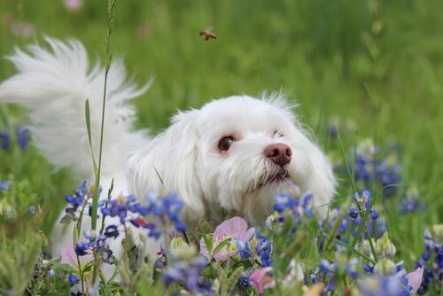 Alergias por picaduras de abejas en perros: ¿qué hacer?