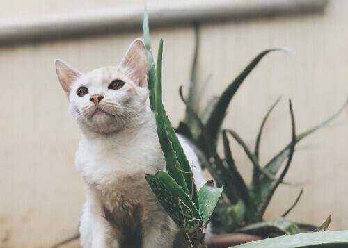 El aloe vera es una de las sustancias comunes que pueden afectar a tu gato