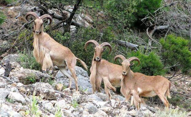 Ejemplares de Ammotragus lervia en la montaña