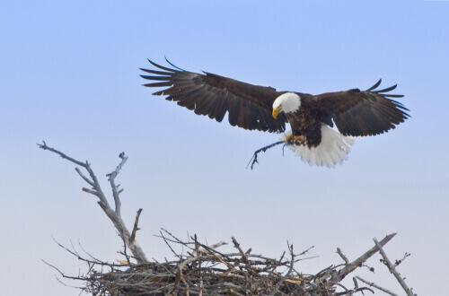 El águila es uno de los animales en peligro de extinción que está en Yellowstone