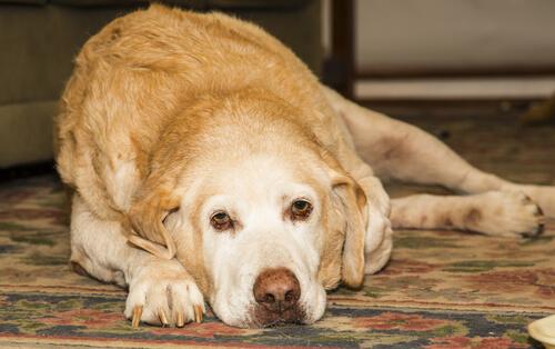 La artritis en el labrador retriever