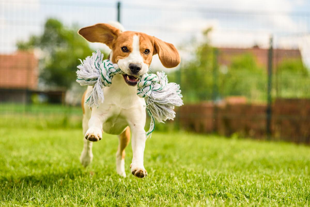 Un perro jugando con su juguete
