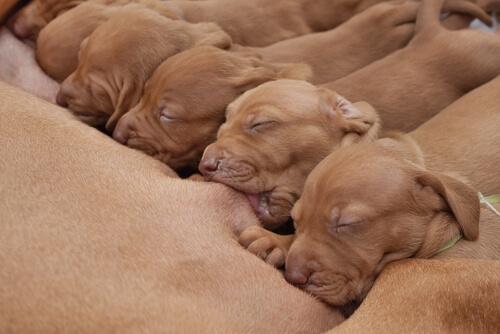 Mortalidad neonatal en cachorros: 4 causas