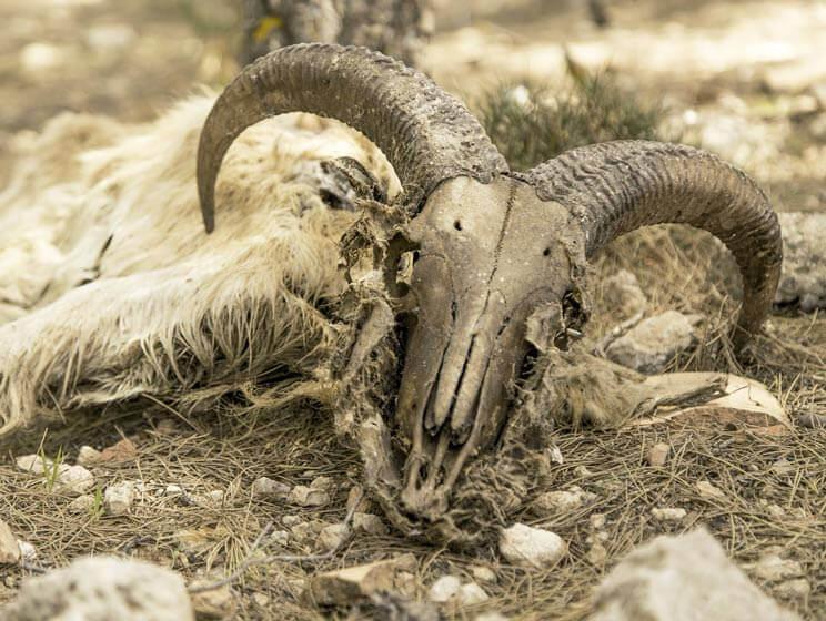 Cadáver y cráneo de arrui
