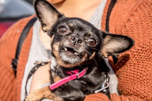 Caída de dientes en el perro