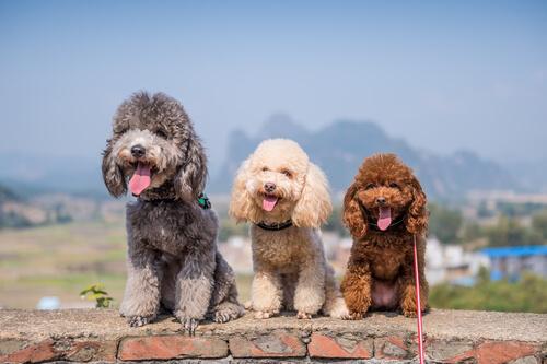 Variedad de colores en el poodle