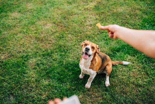 Combatir obesidad canina con cúrcuma