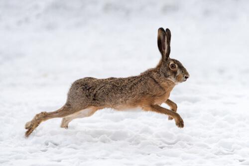 Conejo corriendo en la nieve